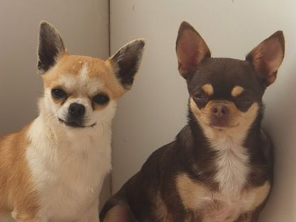 Chihuahuas du Jardin de Jade. http://www.animalcompagnie.com/elevage-chihuhuas-jardins-jade.html #chihuahua #france