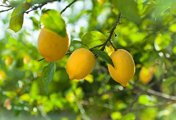 можно лимоны крупные на ветке фото сайт это много