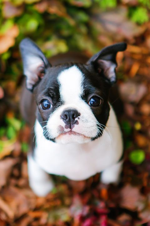 Winnie the Boston Terrier Puppy