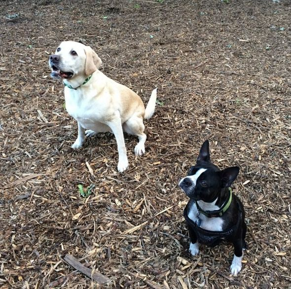 Oooo, is that a treat?! - Maplewood Dog Park at Kellogg Park - St. Louis, MO - Angus Off-Leash #dogs #puppies #cutedogs #dogparks #stlouis #missouri #angusoffleash