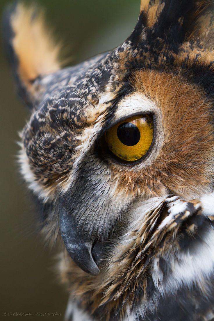 great horned owl portrait | birds of prey + wildlife photography