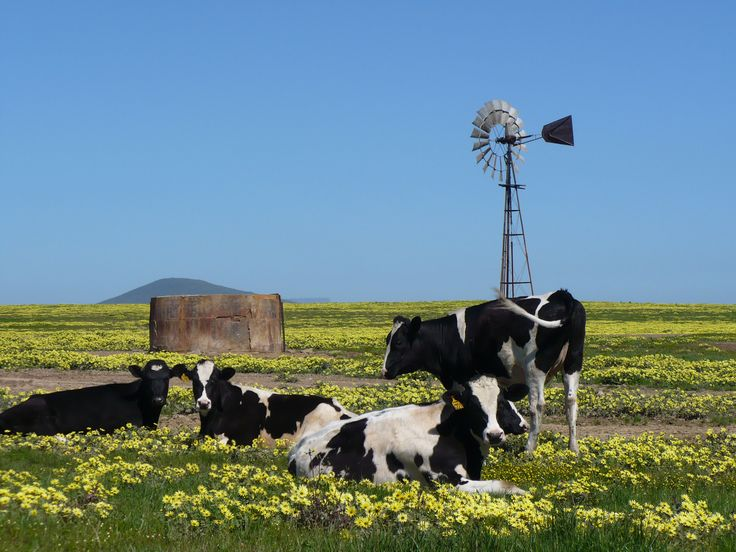 Milk cows in Canola Fields, Durbanville, Western Cape South Africa
