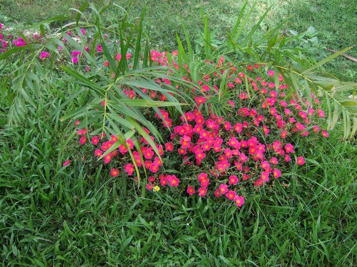 72 best my garden buddies images on pinterest plants for Philippine garden plants