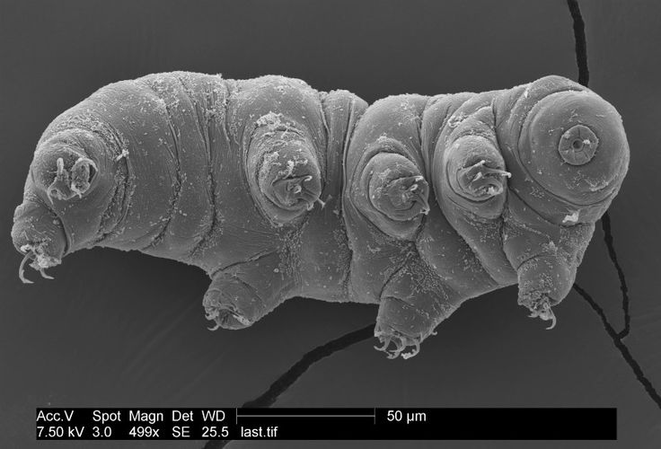 A tardigrade strikes a pose for the microscope.