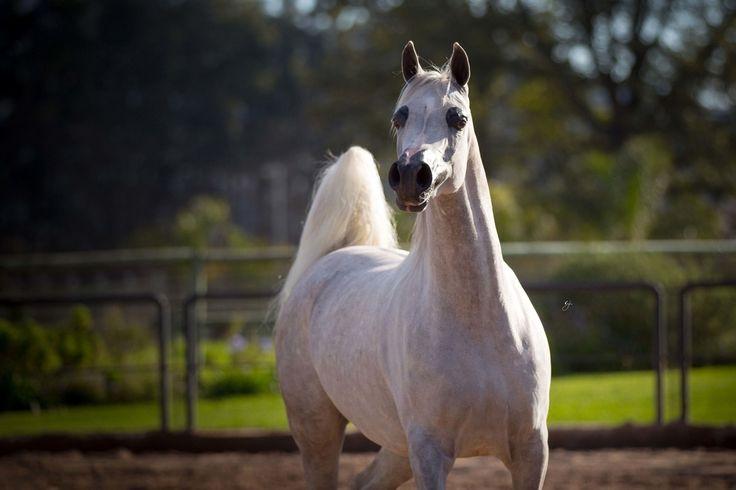 EKS Shakira (Shakir el Marwan x Poetica B by Besson Carol) 2010 grey mare bred by Elkasun Arabians, South Africa