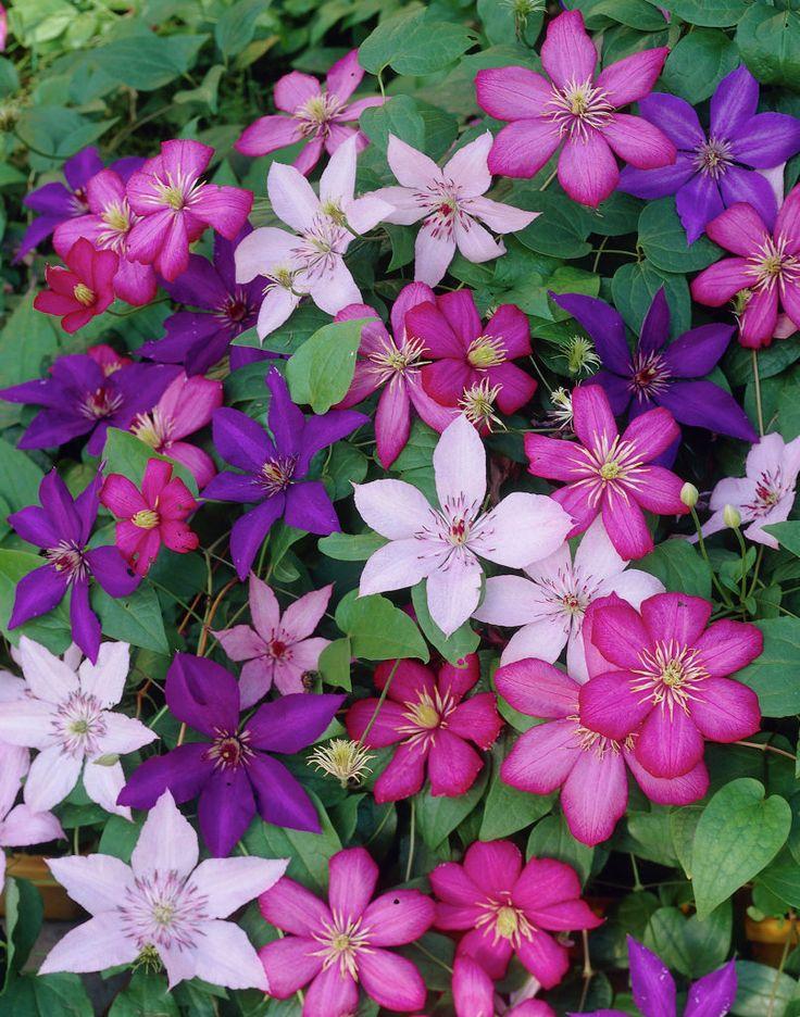 Rankt sich irgendwie das ganze Jahr durch den Garten – wenn du weißt, wie man das farbenfrohe Gewand bezirzt.