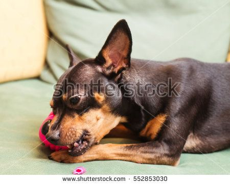 lively pincher playing with plastic puppet over sofa