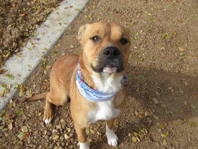Bullboxer Pit dog for Adoption in Plano, TX. ADN-502139 on PuppyFinder.com Gender: Female. Age: Adult