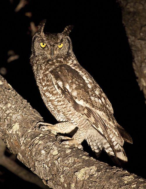 Owl Spooted on a Evening Safari