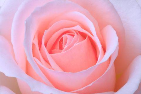 Розовый бутон