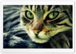 Cat HD Wide Wallpaper for Widescreen