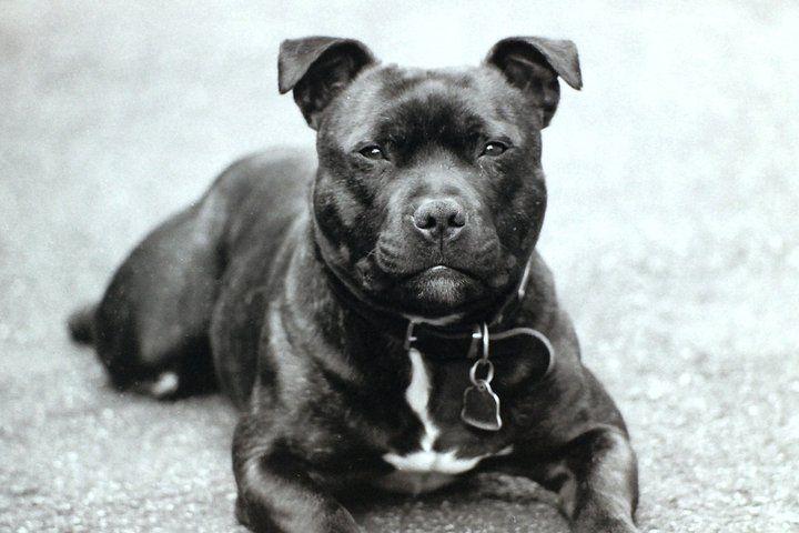 636 best images about staffordshire bull terrier on pinterest. Black Bedroom Furniture Sets. Home Design Ideas