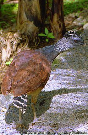 Pájaros Silvestres y Exóticos de Costa Rica