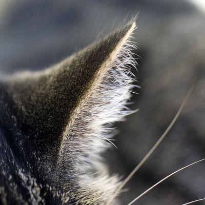 Яка домашня тварина виключно добре чує ультразвуки? кіт! Коти - це хижаки, які полюють вночі і мають ідеальний слух, мабуть, найкращий серед всіх ссавців. Вони вловлюють дуже широкий спектр звуків - від 55 Гц до 79 кГц. Це набагато більше, ніж у людей (31 Гц - 18 кГц) і у собак (67 Гц - 44 кГц). Здатність чути ультразвук може бути корисним в полюванні, оскільки багато гризунів видають ультразвуковий писк.