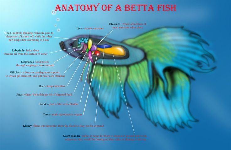 13711 best betta fish tank images on pinterest fish for Lifespan of a betta fish in captivity