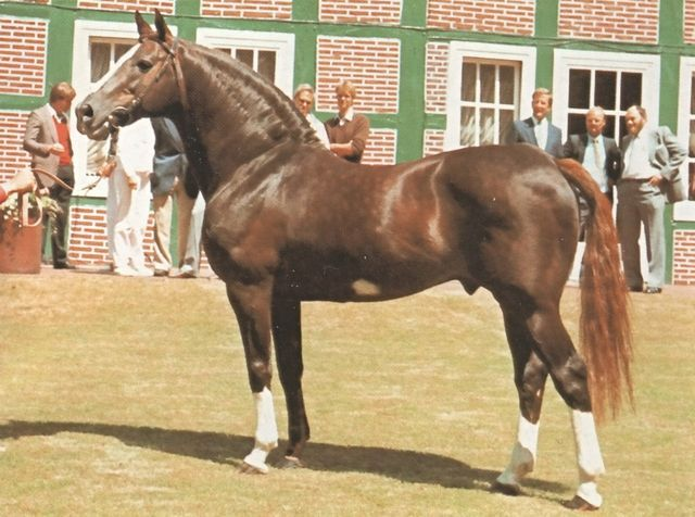 The Furioso North Star (Hungary) is a dual-purpose horse which can be used as an excellent sporting horse and as a farm worker. This horse is very determined, especially during long hours of labor. It adapts easily to new environments, is easy to train and is very gentle. Img: Horse Furioso II: