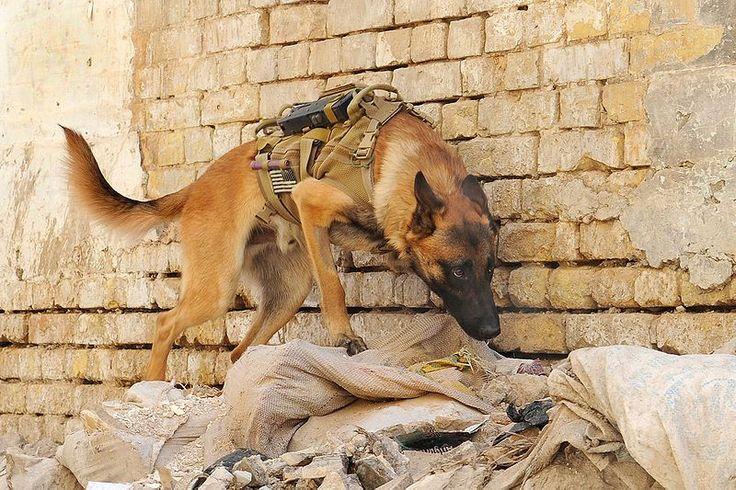 war dogs | ... War Dogs Association! | Texas Dogs & Cats Magazine- Houston Pet