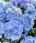 Hydrangea Blue Meister