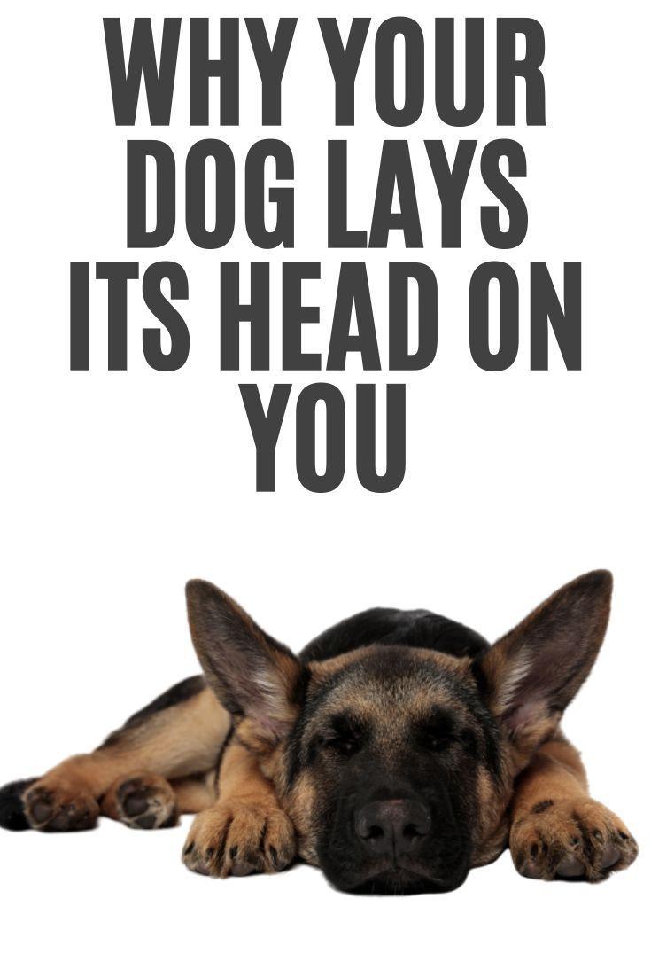 Why Does My Dog Lay His Head On Me German Shepherd German Shepherd Puppy Funny Dog Body Language