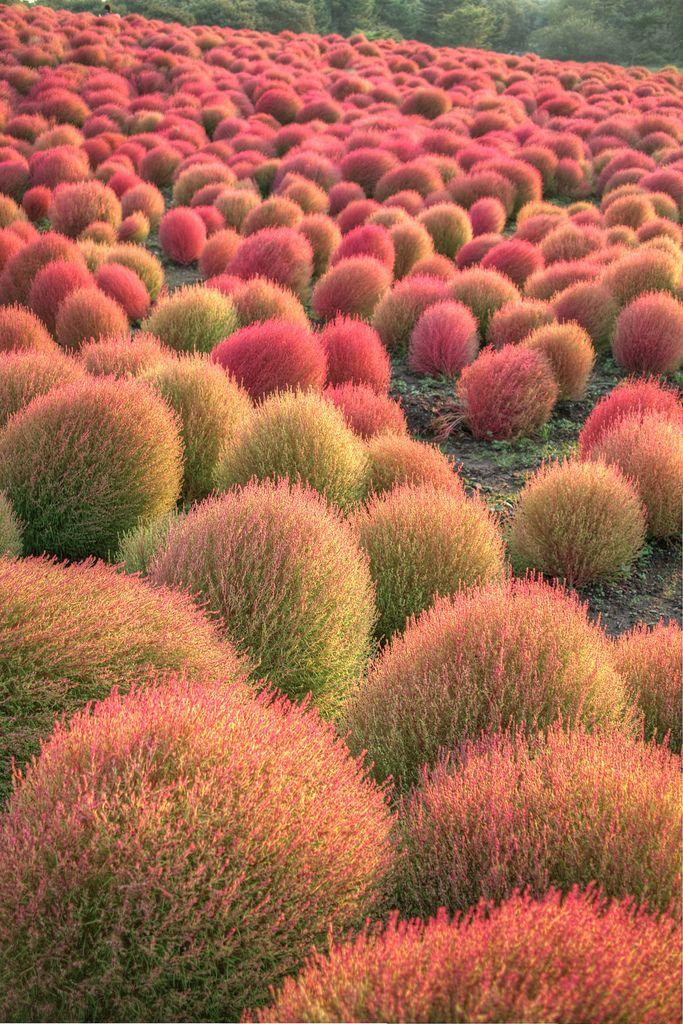 Grass - Burning Bush - Kochia - Scoparia.  At Hitachi seaside park, Hitachinaka, Ibaraki, Japan