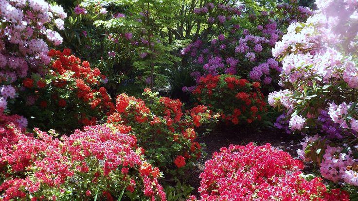 Rhodies at Hatley Castle gardens