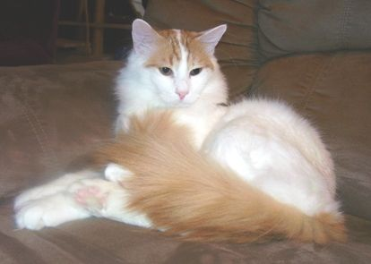 Turkish Van...these cats are awesome because they love to swim.