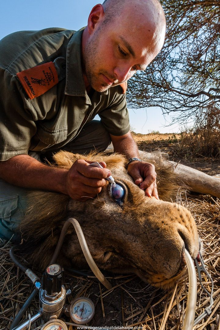 A researcher treating the eye of a lion that wad damaged in a fight. See more of our work at http://www.rogerandpatdelaharpe.com