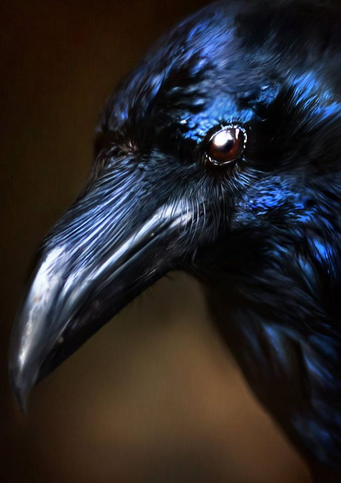 In Nordic mythology, ravens are a symbol of wisdom. Odin the All Father, has a pair himself: Huginn and Muninn.