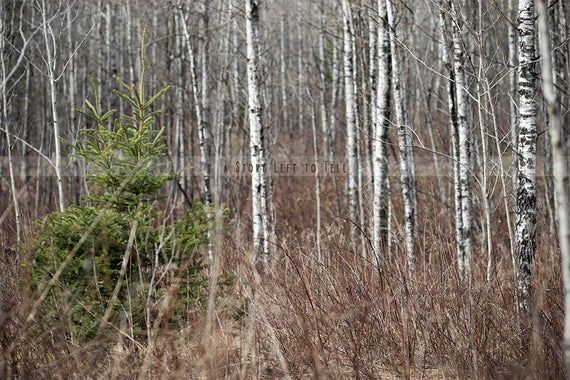 Birch Trees Background Woods Background Forest Background Evergreen Tree Background Nature Background Forest Background Evergreen Trees Nature Backgrounds