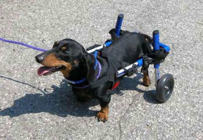 Tiny, a miniature dachshund with paralyzed legs, recently got a leg (or legs up) of a sort when volunteers at the North Jersey Community Animal Shelter bought the 4-year-old dog a cart that can help improve his mobility.