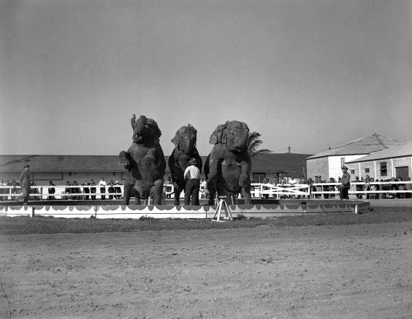 Florida Memory - View showing an elephant act in the ring at the Ringling Circus in Sarasota, Florida.