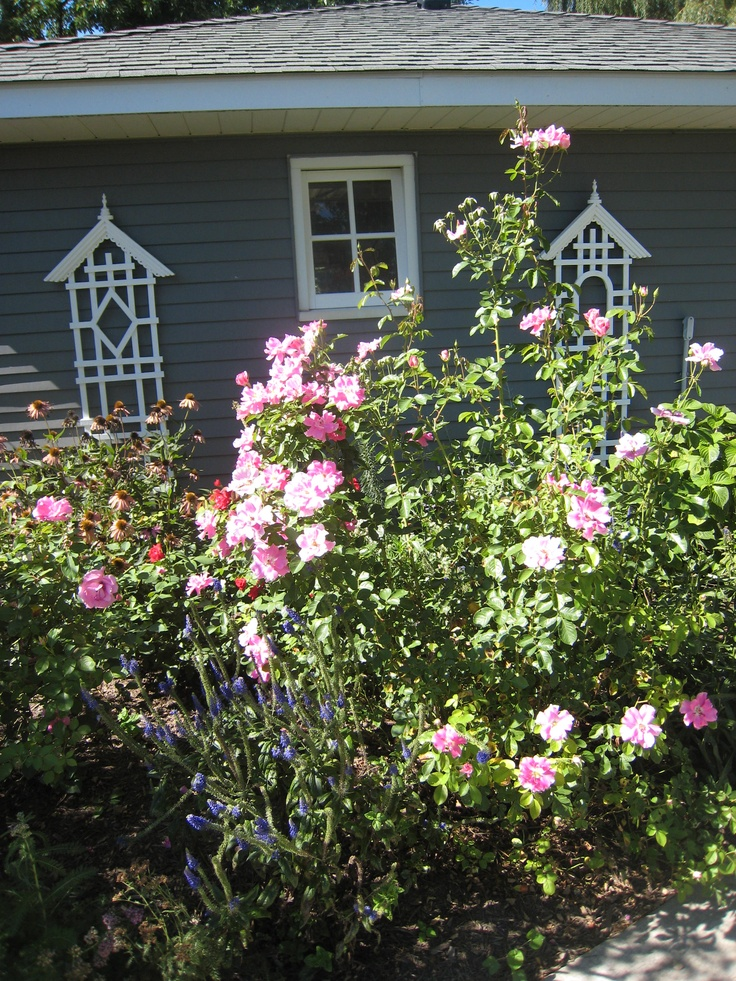 This 'Brilliant Pink Iceberg' rose gets 5' tall by Aug.
