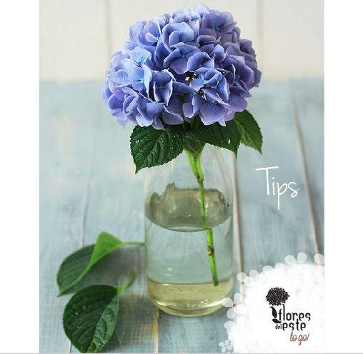 Tip número 5: A los 8 días corta el tallo  y disuelve nuevamente 2 sobres de comida en 1 litro de agua.#hortensias #flores #decoración #diseño #elegancia #floresdelestetogo #floresdeleste #chocolate
