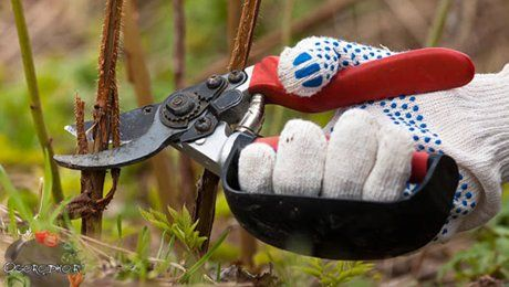 Как обрезать малину осенью, чтобы получить щедрый урожай на следующий год?