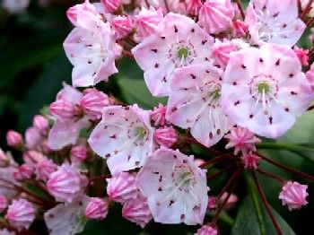 kalmia latifolia - Google Search.  This is the plant we will be using in the memorial garden at church for our remembrance of our daughter, Kerri, born 4 months early in 1966.  We never had closure on the event.