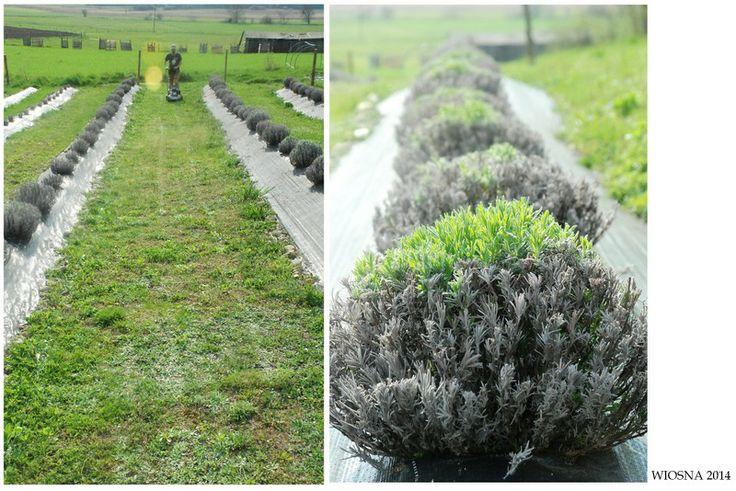 lavender field in spring.