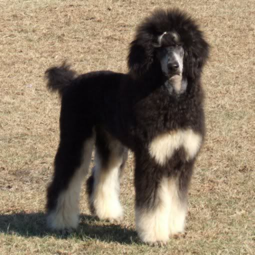 Black and tan standard poodle for sale