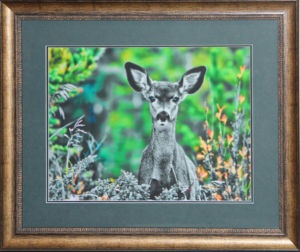 "New double Matted photo of a fawn with horn tips under the skin. Photo taken by Carl Brownell/Joe-Lynn Design. Printed, matted and framed by Carl Brownell/Joe-Lynn Design. $220 Print is 16"" x 12 "" (Verona ultra smooth fine art HD 250 - 100% cotton) mounted on foam core and finished in the back. Frame is 20"" x 16"". Ready to hang. Call 204-586-4738 Find more images at www.joe-lynn.com/ We do custom matting and framing as well."