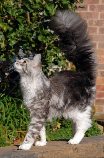 : Cat Kittens, Cat Tail, Gorgeous Tail, Cute Cat, Kitty Kitty, Kittens Tail, Gorgeous Cat, Cat With Fluffy Tail, Fluffy Cat