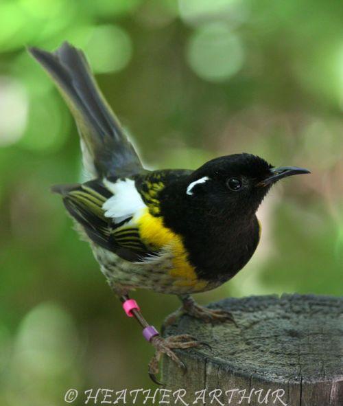 Stitchbird, hihi. NZ native bird