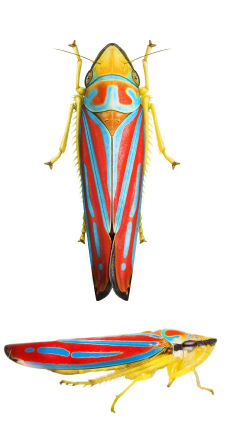 Graphocephala coccinea...so damned gorgeous...one could stare at it all day!