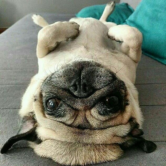 Pug Dog Pug Puppie Sleepy Cute Dog Sleepy Dog Dog Heaven