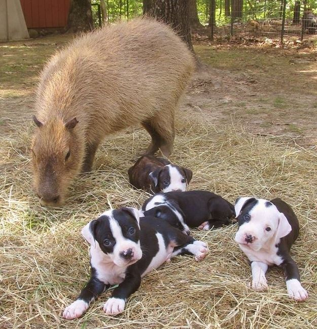 She helps the refuge's owner, Janice with caring for the pups in need. | Meet Cheesecake, The Capybara Babysitter Of The Future