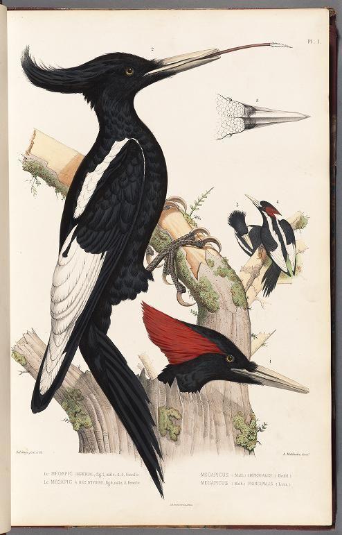 Imperial Woodpecker (Campephilus imperialis), Monographie des picidées, ou Histoire naturelle des picidés, picumninés, yuncinés ou torcols; Volume III, 1861.