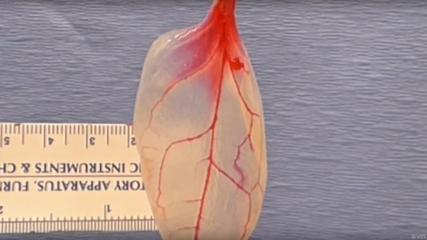 Hoja de espinaca convertida en tejido cardíaco.