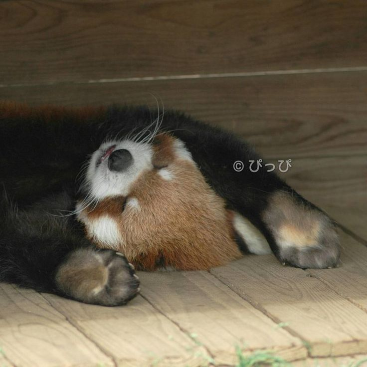 Red panda, snoozing after a hard day's play.