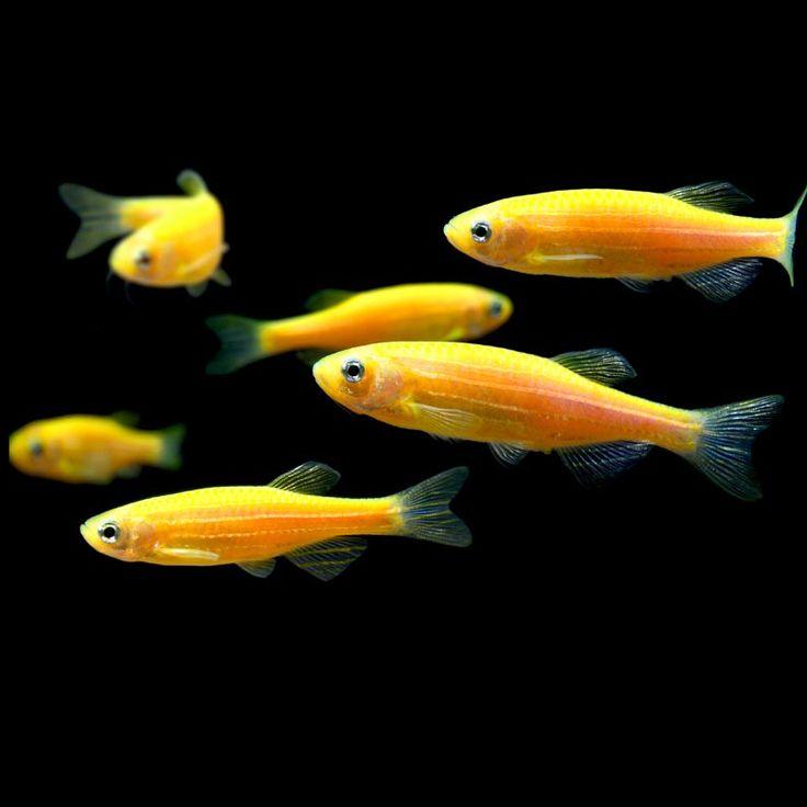 Sunburst orange glofish danio rerio image search for Danio fish care