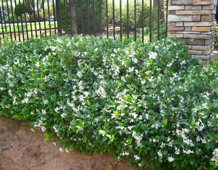 Trachelospermum jasminoides-Esp