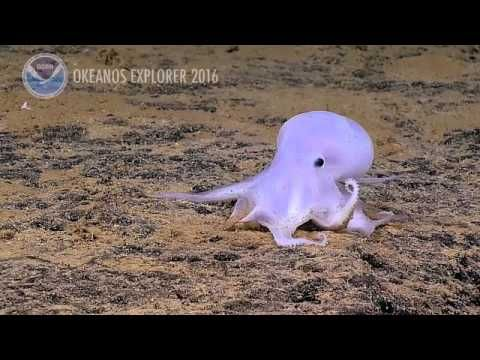Casper, the Friendly Deep Sea Octopus Who's Entirely New to Science - Scientific American Blog Network