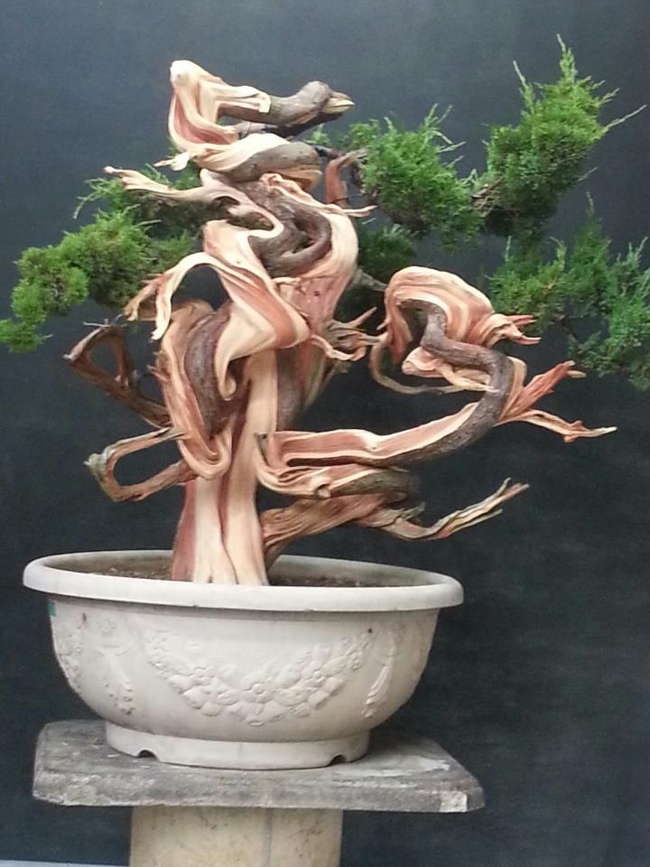 Amazing juniper bonsai!                                                                                                                                                                                 Mais